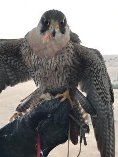 A fellow passenger in our hot air balloon, the falcon.