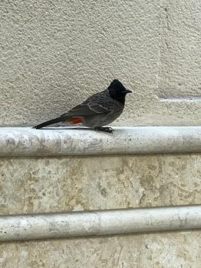 A cafe bird in Dubai waiting for a scrap.