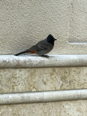 A cafe bird in Dubai waiting for a scrap.