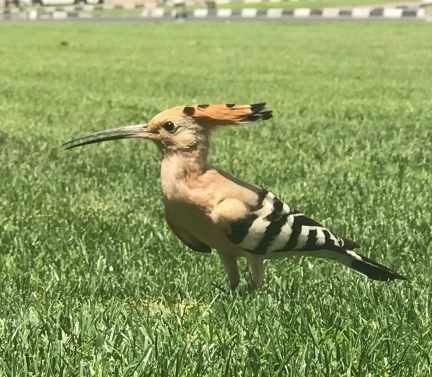"The adorable Eurasian Hoopae (so called because it ""hoop hoops"") at Dubai's Int'l Financial Center lawn."
